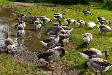 Country Life. Herd of white domestic geese grazing in the meadow