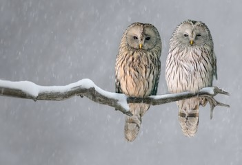 Pair of Ural owls sitting on branch (Strix uralensis)
