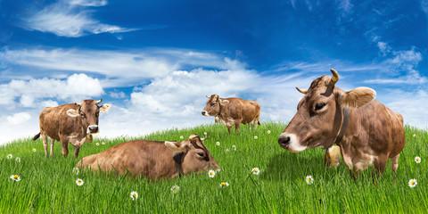 brown cows on meadow in front of blue sky / Kühe auf Wiese Weide vor blauem Himmel