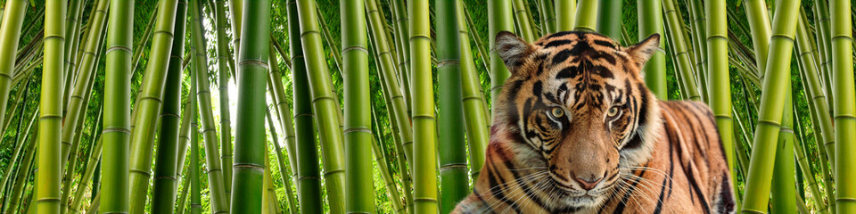 Spoed Fotobehang Tijger A tiger in Tall stalks of dense green bamboo in a jungle setting.