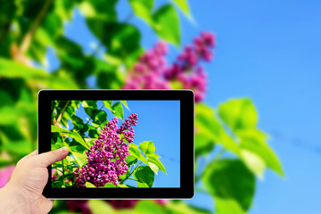 Tablet photography concept. Taking pictures on a tablet. Green branch with spring rose lilac flowers macro