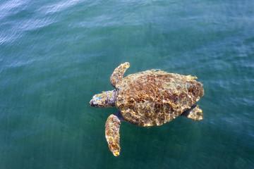 Loggerhead sea turtle (caretta caretta) in Cephalonia (Kefalonia), Greece