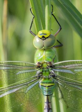 eine junge Große Königslibelle sitzt im Schilf