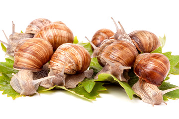 some snails crawling on the grape leaves white background