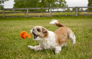 Adorable Shih-Tzu dog chasing after orange ball with mouth agape