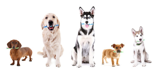 Cute dogs with tooth brushes, isolated on white