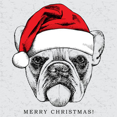 Picture of portrait of a dog bulldog in Santa hats. Vector illustration.