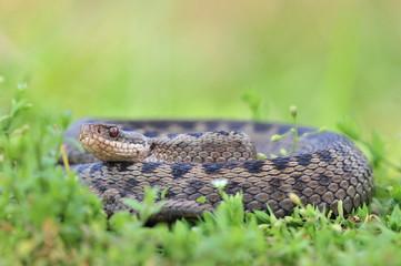Kreuzotter Vipera berus Schlange