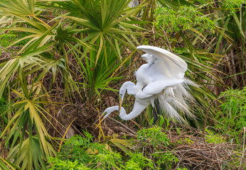 Pair of Adult Great Egrets Mating