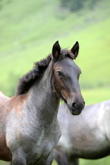 proud, gray foal in portrait