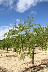 almond tree with drip irrigation in spring