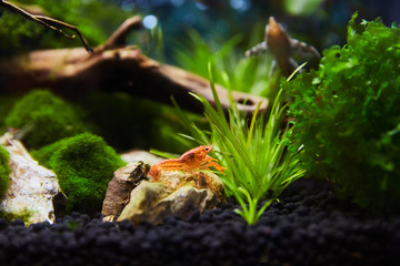 Mexican Crayfish for Nano Aquariu