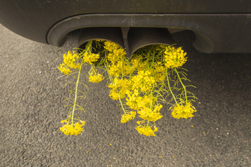 Car pipe exhaust, with blooming rape. Conceptual photo of biofuel.