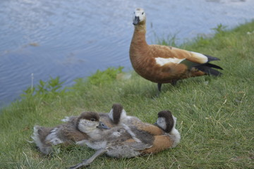 A family of ducks