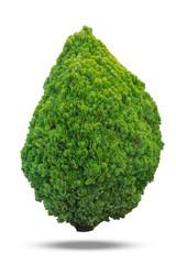 Thuja green bush isolated on white background.