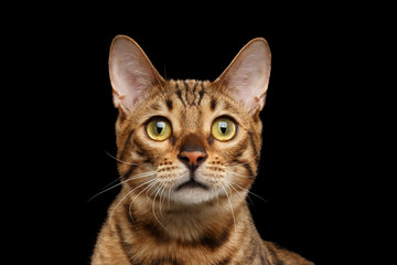 Close-up Portrait of Curious Face Bengal female Cat with beautiful eyes and Red nose, Looks with Interest, Isolated Black Background, Front view