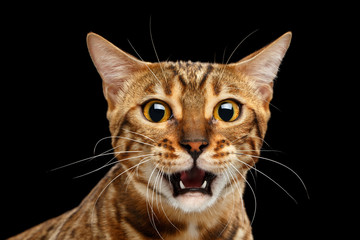 Closeup Portrait of frightened Bengal Cat Face on Isolated Black Background, Front view, Fear Kitty, Surprised Open mouth