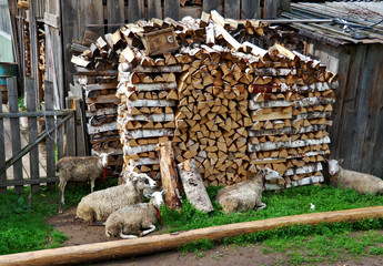 village sheep. Russian North
