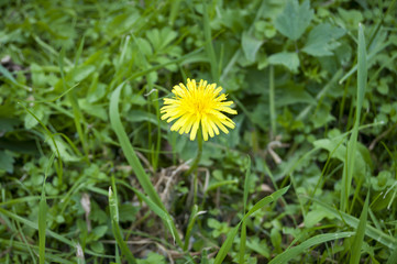 Single yellow dandelion flower in the green grass stock image. Moscow, Russia, June 2016.
