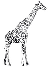 Hand drawn Illustration of Giraffe on white background. Vector