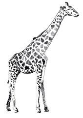 Hand drawn Illustration of Giraffe on white background. Vector