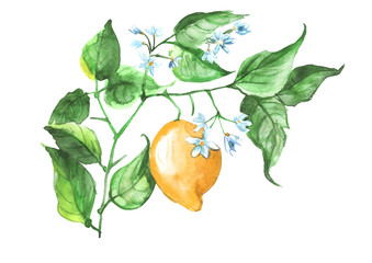Watercolor Illustration - Lemon on a branch with flowers and leaves isolated on white background. Use of design in postcards and other.