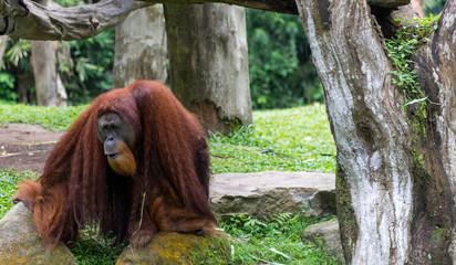 Orang Utans exclusively Asian species