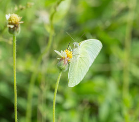 Common Grass Yellow butterfly (Eurema hecabe contubrenalis (Moor