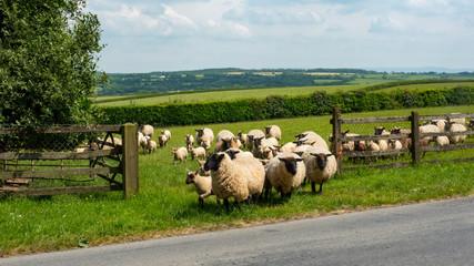 white fleeced sheep in Devon, south west England