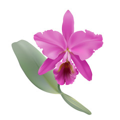 Orchid.  Hand drawn vector illustration of a tropical orchid Cattleya warneri, with pink petals and lip, on transparent background.