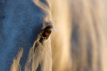 White horse eye at sunset light close up
