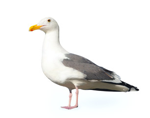 Seagull isolated on a white background.