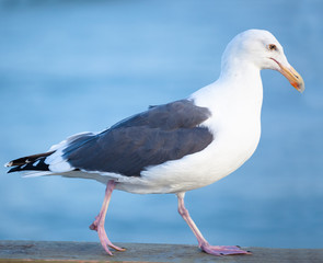 Seagull portrait.  San Diego, California USA.