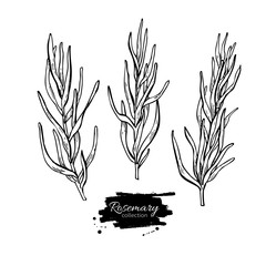 Rosemary vector drawing set. Isolated Rosemary plant