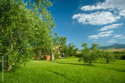 olive trees in a grove on the grassy hillside photo. Black Bedroom Furniture Sets. Home Design Ideas