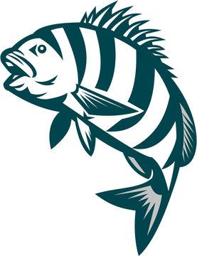 Sheepshead Fish Jumping Isolated Retro