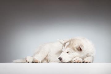 sleeping husky puppy looking sideways
