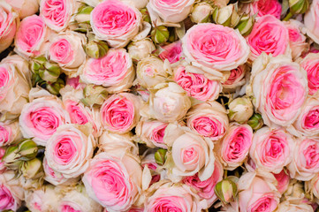 Background image of fresh light pink roses . flower texture