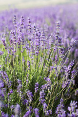 Closeup picture purple lavender field
