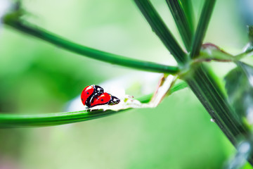 Ladybird Mating in spring