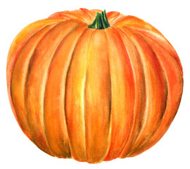 Watercolour drawing of beautiful pumpkin, hand painted on white