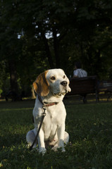 Sweet female beagle sitting in a city park