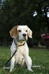 Sneaking female beagle in a park