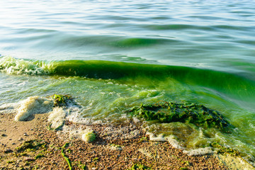 algal blooms, green surf beach on the lake