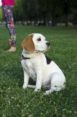Beagle waiting for her owner