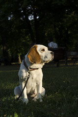Beagle waiting for a walk in a city park
