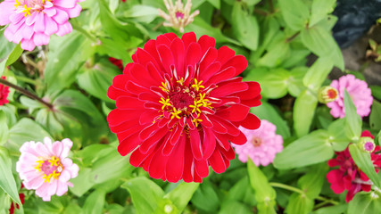 closeup of red Zinnia flower in full bloom