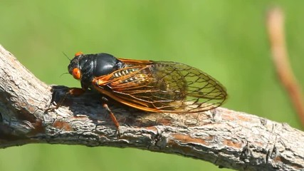 Fotoväggar - 17 Year Cicada (Magicicada) perched on a stick with a green background