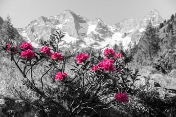 Fototapete - Alpenrosen mit Gebirge im Hintergrund Kunst