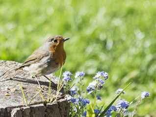 Robin, Erithacus rubecula, perched on log with dead space for te